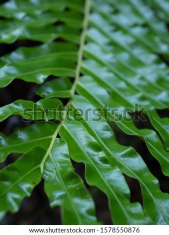 Ferns leaves green foliage natural floral fern background. Wild fern in rainforest jungle of Thailand. #1578550876