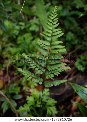 Ferns leaves green foliage natural floral fern background. Wild fern in rainforest jungle of Thailand. #1578910726
