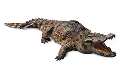 ferocious crocodile lying open mouth wide, and with scary fangs. di cut with clipping path isolated on white background.