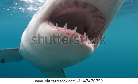Ferocious Great White Shark