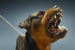 Ferocious Rottweiler barking on blue background