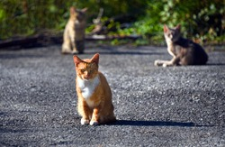 Ferral Orange tabby gives the camera a fierce stare, as the group of three cats bask in early morning sunshine.  These cats run wild outside.