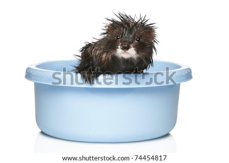 Ferret bathed in water on a white background
