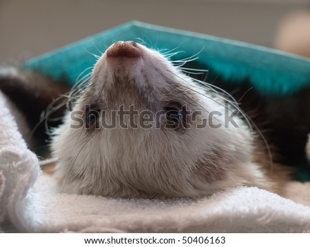 Ferret during surgery - stock photo