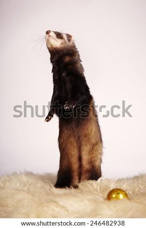 Ferret high society