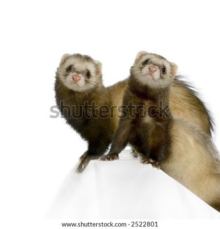 Ferret in front of a white background - stock photo