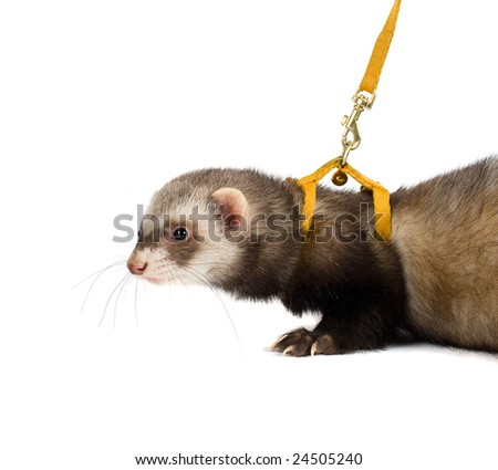 Ferret kit in front of a white background