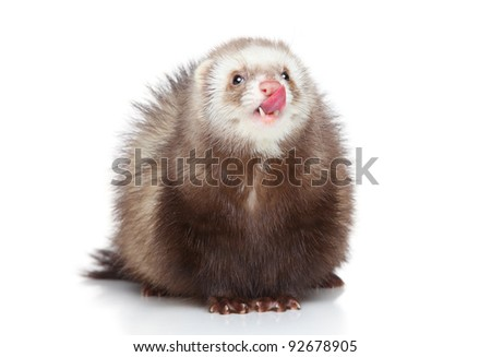 Ferret licks his nose on a white background