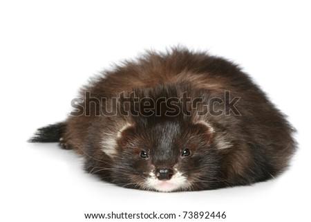 Ferret lying on a white background