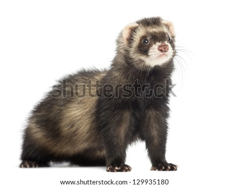 Ferret, 9 months old, looking away in front of white background - stock photo