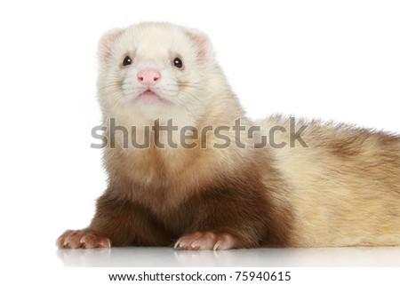 Ferret (Mustela putorius furo) on a white background