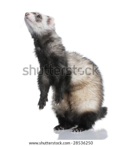 ferret - Mustela putorius furo (1 year old) in front of a white background
