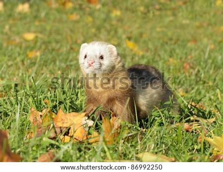Ferret play autumn meadow. Selective focus