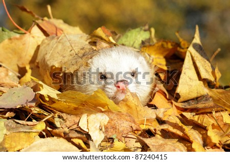 Ferret play in yellow autumn leaves. Outdoor shot. Selective focus
