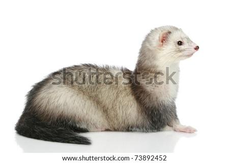 Ferret (polecat) lying on a white background