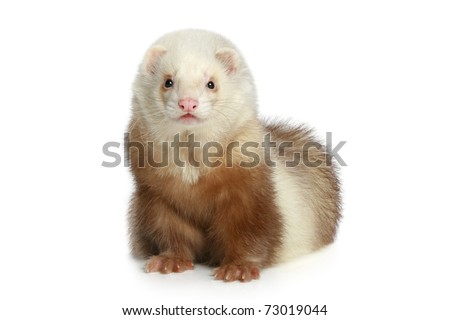 Ferret (polecat) sitting on a white background