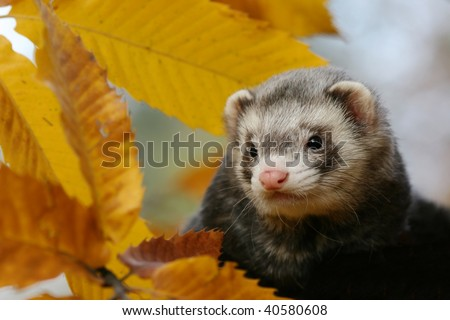 Ferret portrait with autumn leaves