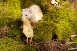Ferret predator carrying little chicken in forest moss decorated with prey skulls