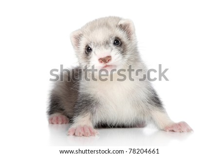 Ferret puppy on a white background