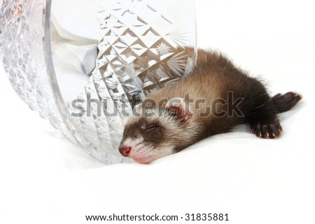 Ferret's kid sleep