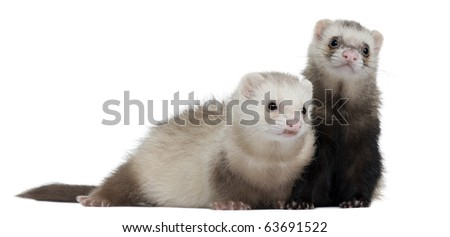 Ferrets, 8 months old, in front of white background - stock photo