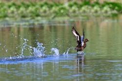Ferruginous Duck - Aythya nyroca Male on a lake