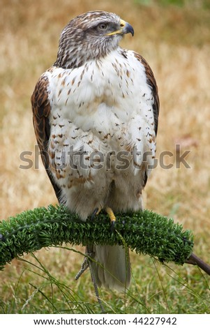 Ferruginous Hawk Buteo Regalis Perched Brown Feathers