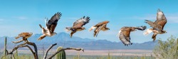 Ferruginous Hawk flying. Isolated hawk Sequence blue sky