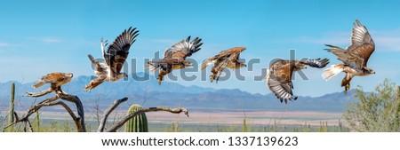 Ferruginous Hawk flying. Isolated hawk Sequence blue sky Сток-фото ©