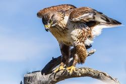 Ferruginous Hawk in Desert Tucson Arizona