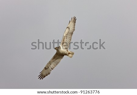 Ferruginous Hawk in flight Saskatchewan Canada