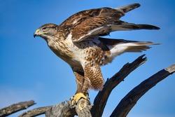Ferruginous Hawk in Tucson Arizona