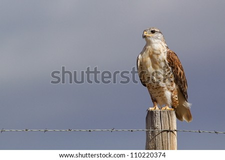 "Ferruginous Hawk.  This highly detailed image clearly shows the large ""gape', which differentiates the F. Hawk from the Red-tailed Hawk.  Fort Pierre National Grassland, South Dakota prairie"