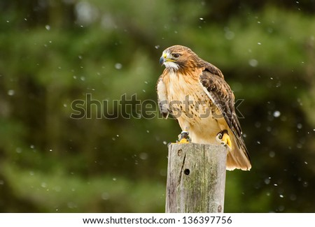Ferruginousl Hawk