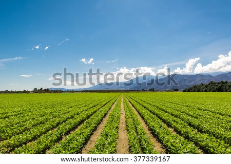 Fertile Agricultural Field of Organic Crops in California Organic Crops Grow on Fertile Farm Field in California. Vegetables in a row, clear skies and mountains in the background.