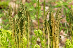 Fertile fronds of the cinnamon fern, Osmunda cinnamomea, at the edge of woods in Mt. Sunapee State Park in Newbury, New Hampshire.
