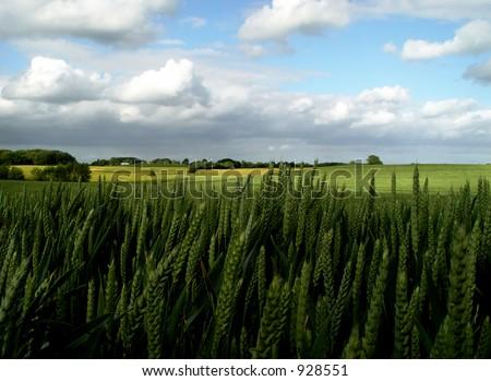 fertile ground - wheat field