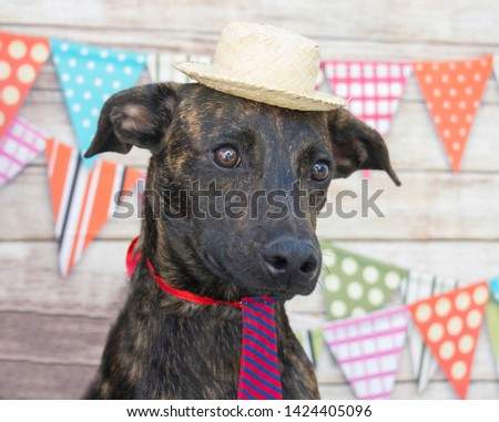 Festa Junina: Brazilian celebration on the month of june. Dogs wearing costume. Straw hat, hick culture.