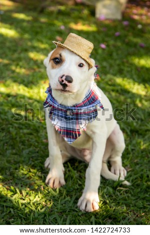 Festa Junina: brazilian party that happens in the month of june. White dog wearing a stray hat and a bandana.