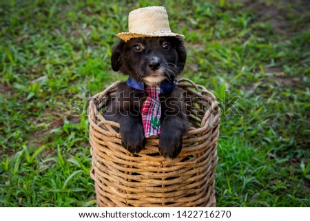Festa junina: party in Brazil in the month of june. Little puppies inside a basket wearing hat and tie.