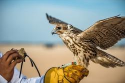 Festival of To hunt with hawks lbirtha Heritage in South Qatar, Qatar, December 2013