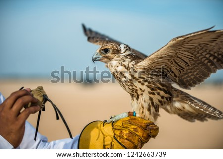 Festival of To hunt with hawks lbirtha Heritage in South Qatar, Qatar, December 2013