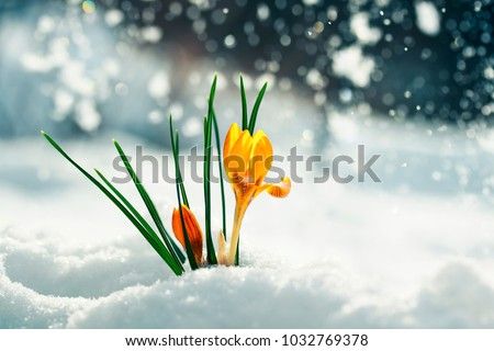 festive bright yellow flowers snowdrops crocuses make their way on a Sunny spring day under the cold white snow