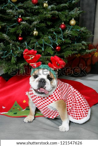 Festive Bulldog in antlers and a dress posing by a Christmas Tree