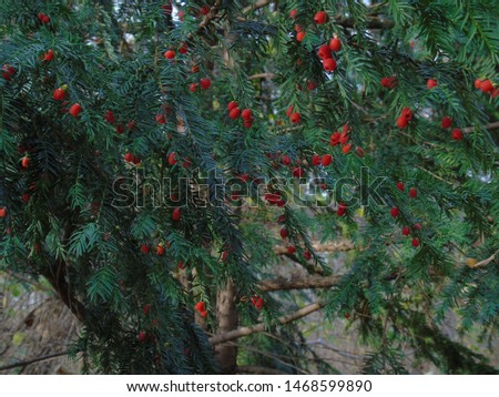 Festive red berries popping out of the evergreen Taxus baccata, European yew. This conifer shrub remains evergreen with the poisonous and bitter red berry fruits in autumn season #1468599890