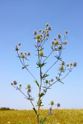 Feverweed wild plant (in Latin: Eryngium planum) on the background of field and cloudless sky in summer