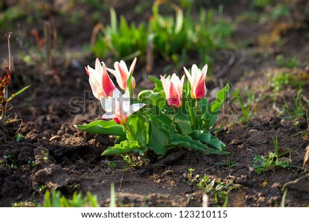 few beautiful small tulips in early spring