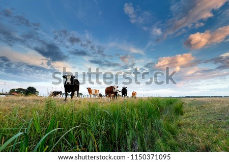 few cows on pasture at sunset during summer