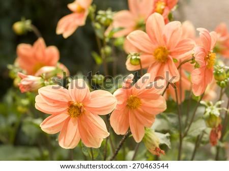 Few flowers dahlia of orange colour in garden.