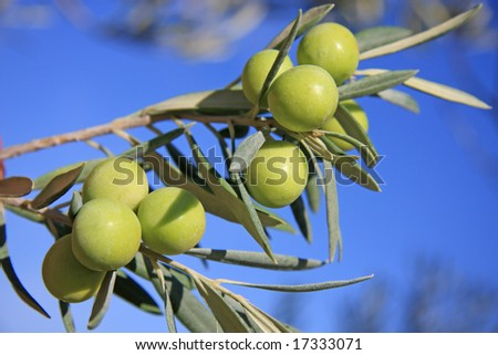 Few green olives in a tree branch